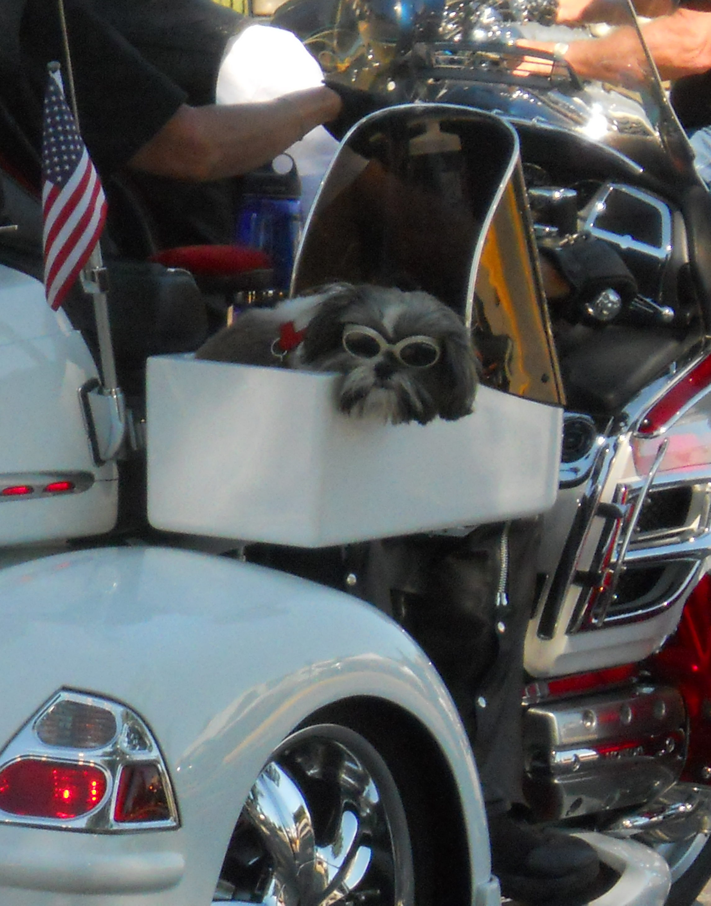 Sturgis Motorcycle Rally Sturgis, South Dakota. Little dog wearing sunglasses in motorcycle sidecar.